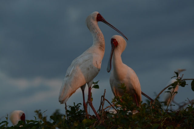 ©Jean Janssen We stayed at bird island until sunset and I captured the colors reflected off these spoonbills.  Siwandu, Selous Game Reserve, Tanzania