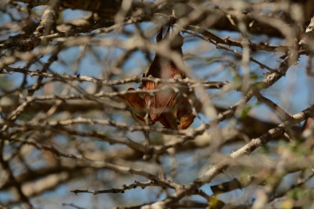 ©Jean Janssen Bats. Selous Game Reserve, Tanzania