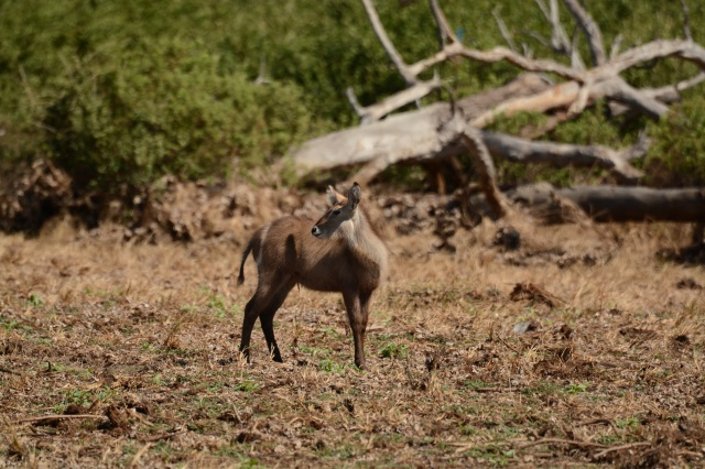 ©Jean Janssen A young waterbuck. Selous Game Reserve, Tanzania