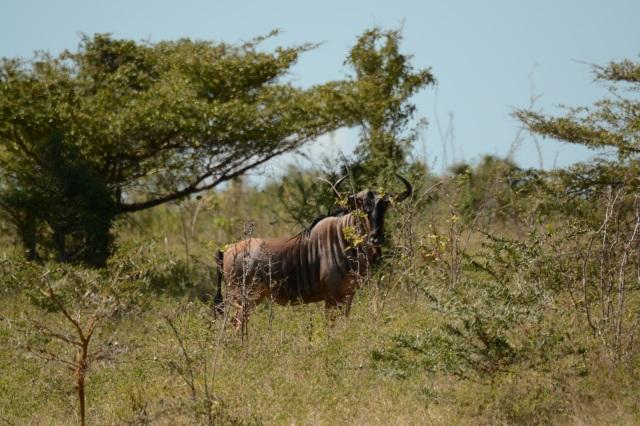 ©Jean Janssen Wildebeest Selous Game Reserve, Tanzania