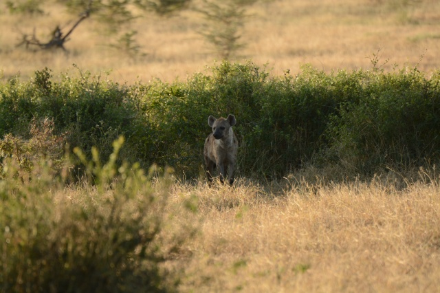 ©Jean Janssen Hyena waiting for his turn at the kill.  If you zoom in you will see that there is drool coming from his mouth.  Selous Game Reserve, Tanzania