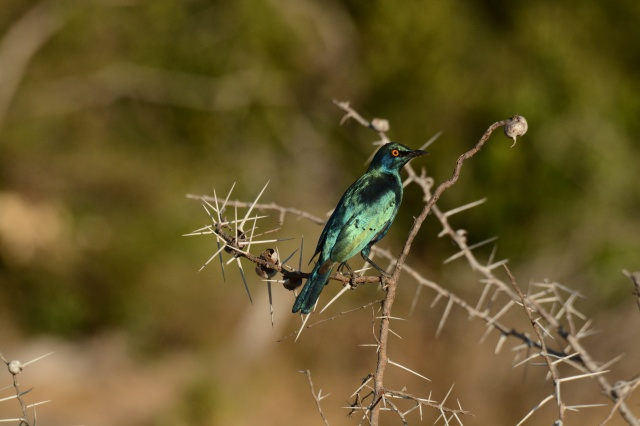 ©Jean Janssen The beautiful Blue Starling, one of my favorite birds in Africa.