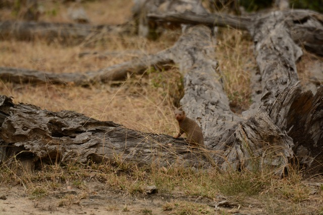 ©Jean Janssen Mongoose on a dead tree