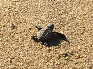 Bob watched freshly hatched Ridley turtles try to make it to the ocean on his morning walk.--photo by Bob Kochman