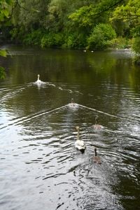 Swan family on the water in St. Stephen's Green, Dublin ©Jean Janssen