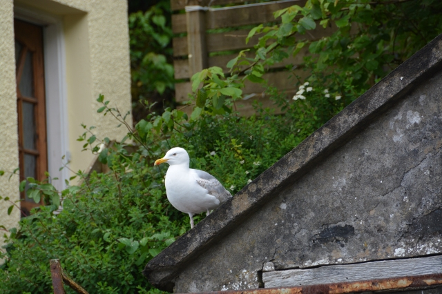 As a cruise vacation and stops in lots of sea ports, we saw seagulls everyday.  This gull sits on a rooftop in Portree, Isle of Skye, Scotland. ©Jean Janssen