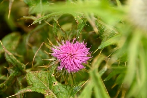 I spotted my first Scottish thistle by the gate at the Calanais Stone Circle. ©Jean Janssen