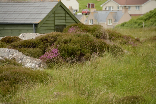 Finally spotted some Scottish heather (with the purple flowers) on the Isle of Lewis, Scotland ©Jean Janssen