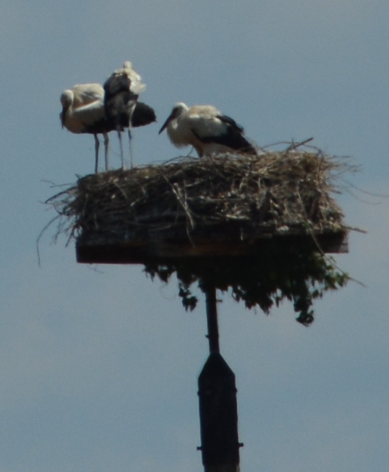 Stork nest in village near Kiel, Germany ©Jean Janssen